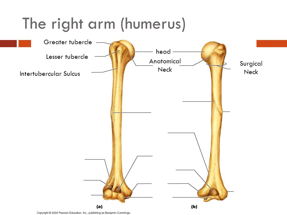 The right arm (humerus)