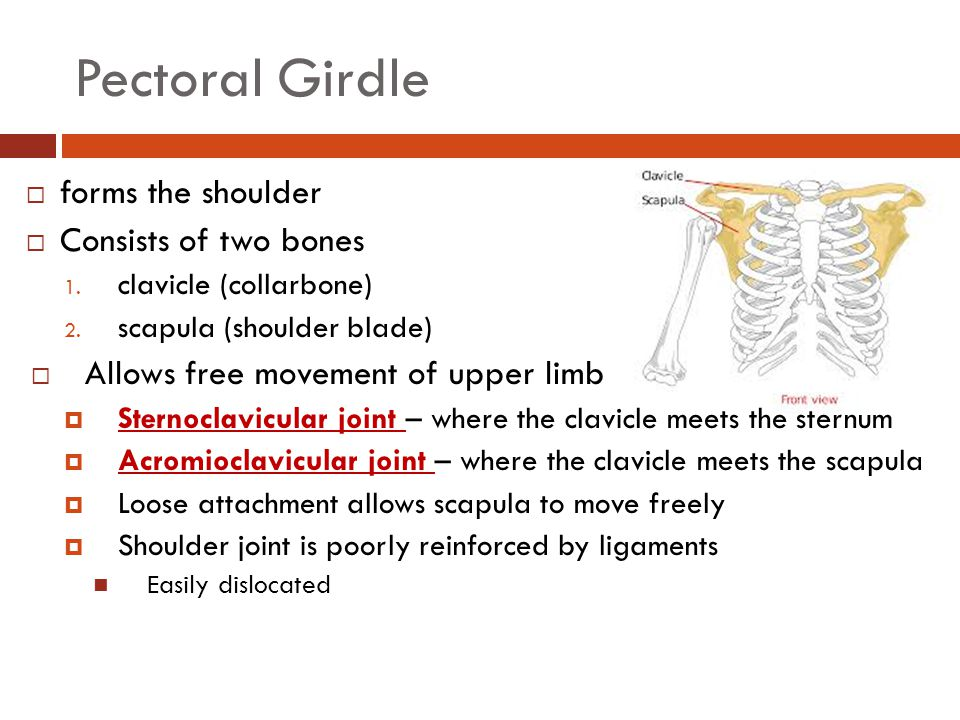 Pectoral Girdle forms the shoulder Consists of two bones