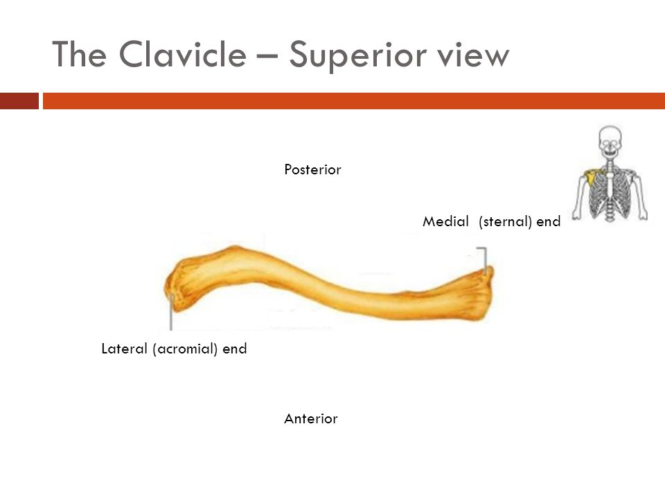 The Clavicle – Superior view