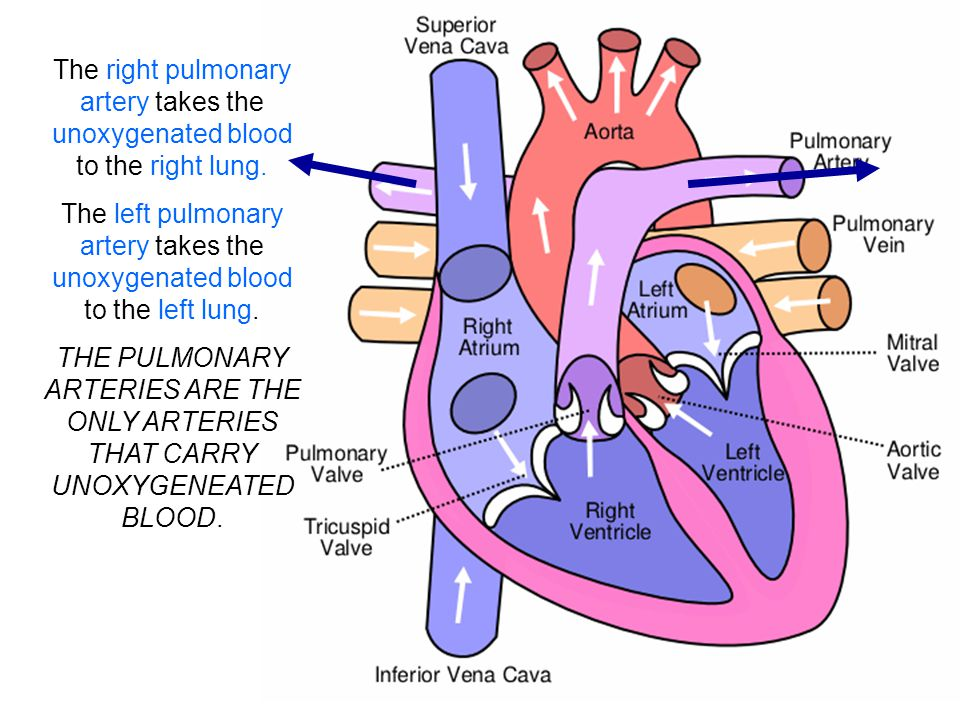trace a path from the right femoral vein to the lower right lung via the right pulmonary artery Longest vein in the lower limb : pulmonary trunk right or left pulmonary artery which artery supplies the stomach via the right gastric artery,and the.