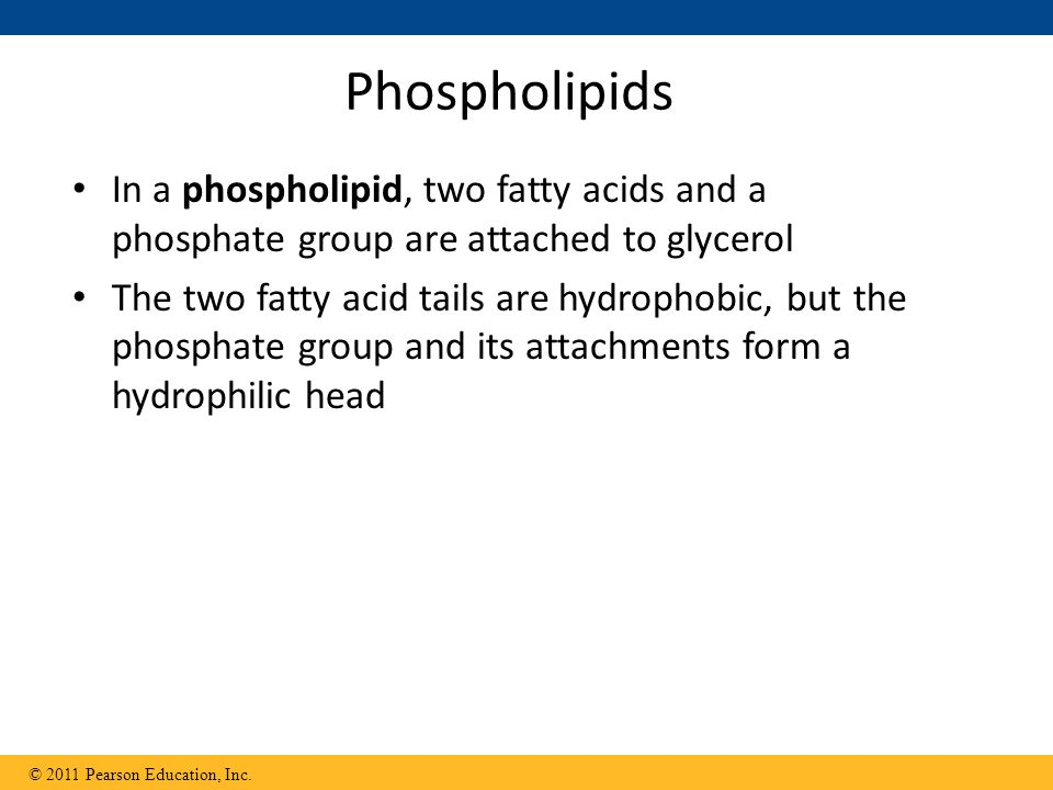 Phospholipids In a phospholipid, two fatty acids and a phosphate group are attached to glycerol.