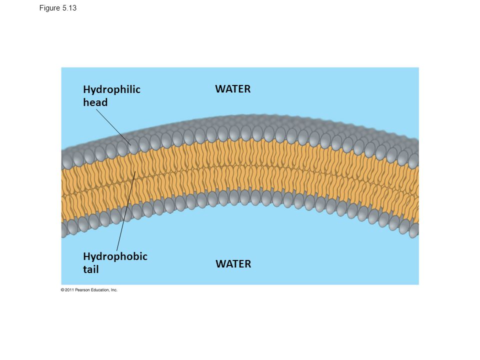 Hydrophilic head WATER Hydrophobic tail WATER