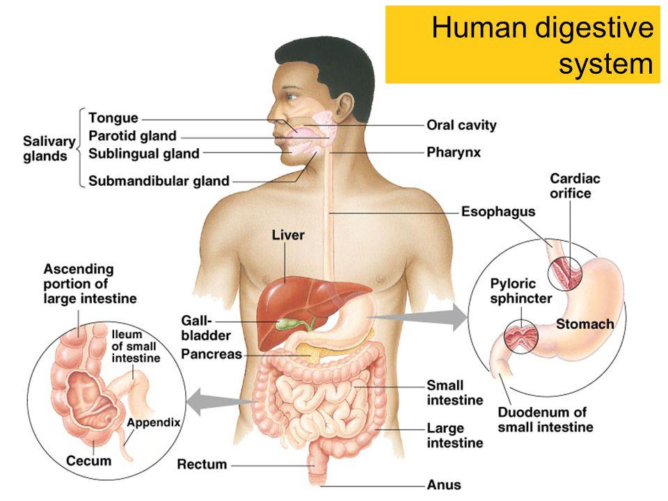 Human+digestive+system.jpg