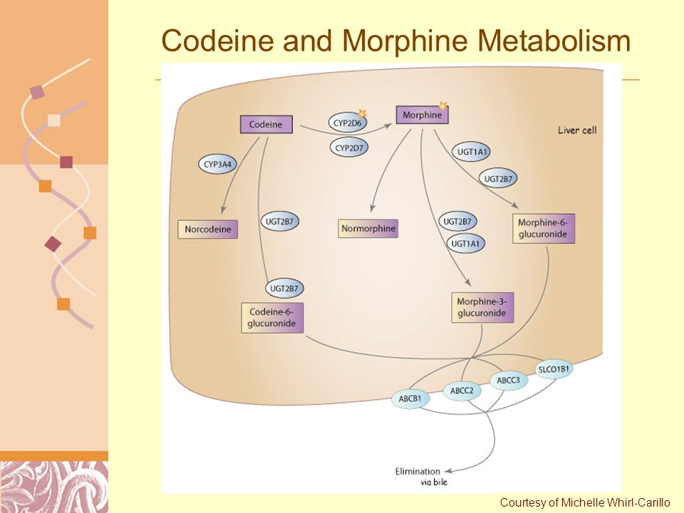 drug metabolism of codeine wwwslavgorodby