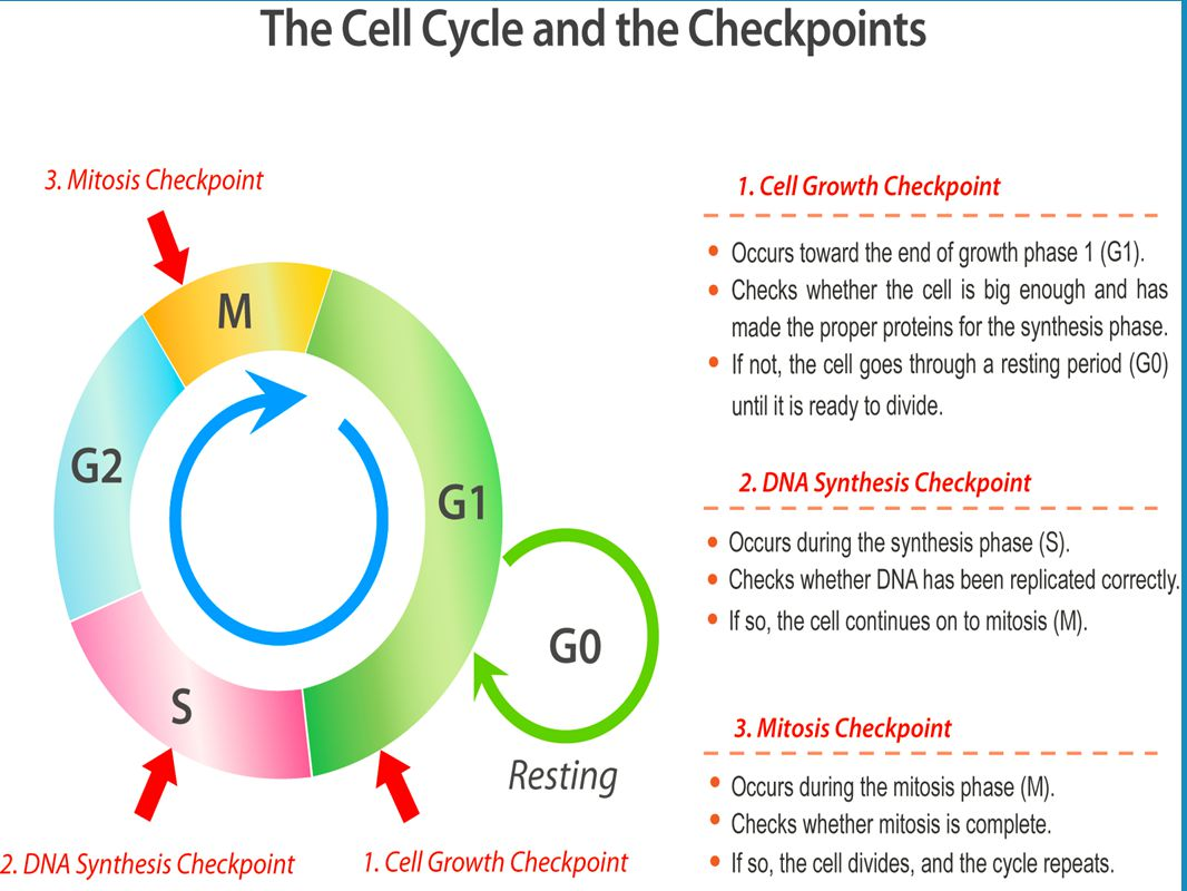 CELL REPRODUCTION THE CELL CYCLE AND MITOSIS ppt video online – The Cell Cycle Coloring Worksheet