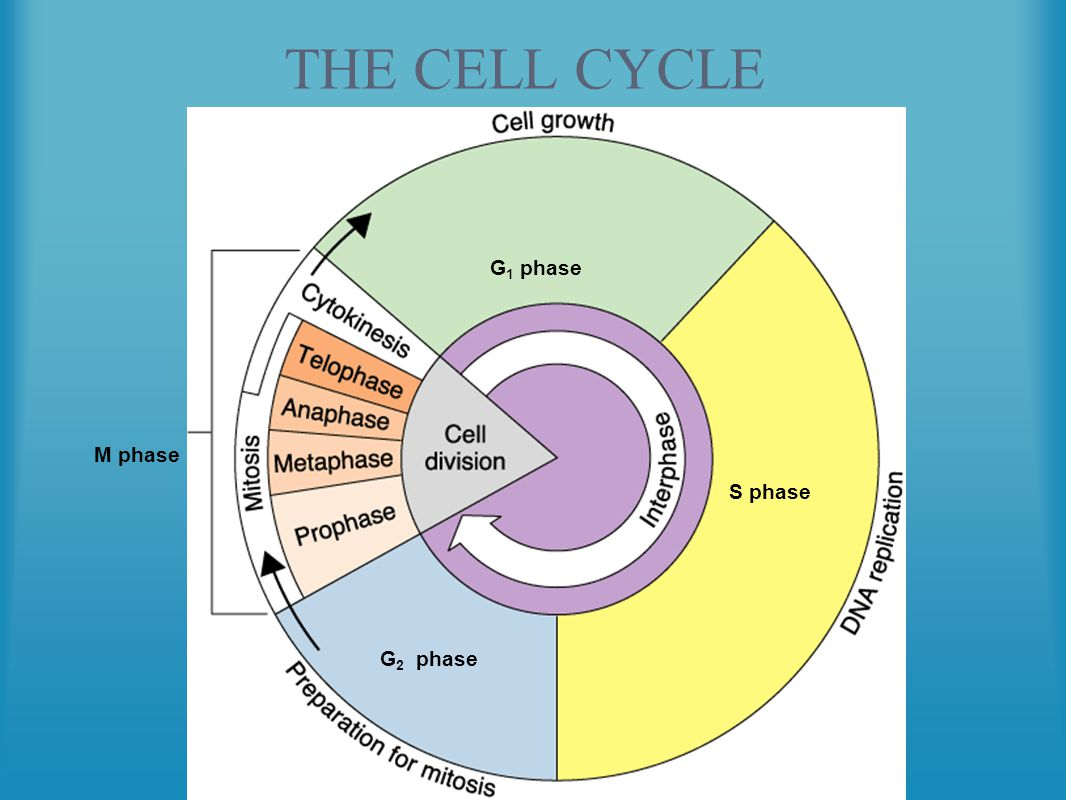 mitosis meiosis and the cell cycle essay Many students struggle with knowing the difference between meiosis and mitosis both are cell  meiosis is the special cell division cycle  a common essay in.