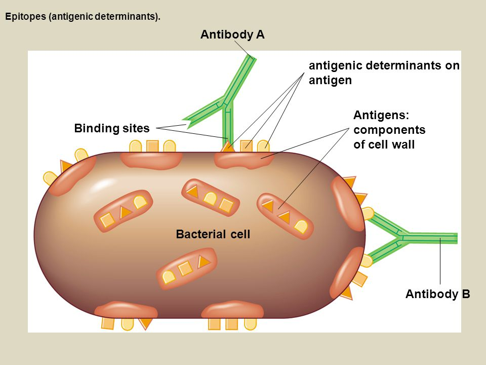 K Antigen Bacteria Adaptive Immune...