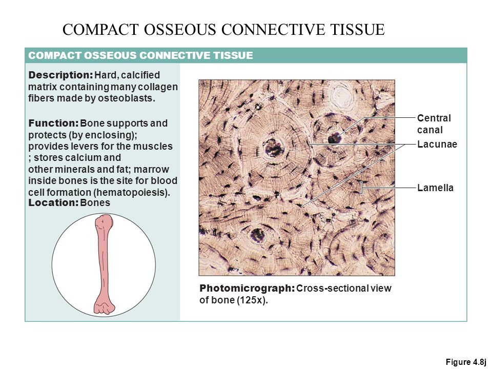 connective bone tissue Connective tissue training by nfpt team | february 13th,  even bones have more blood than connective tissue, which is why a broken bone can heal in four to six.