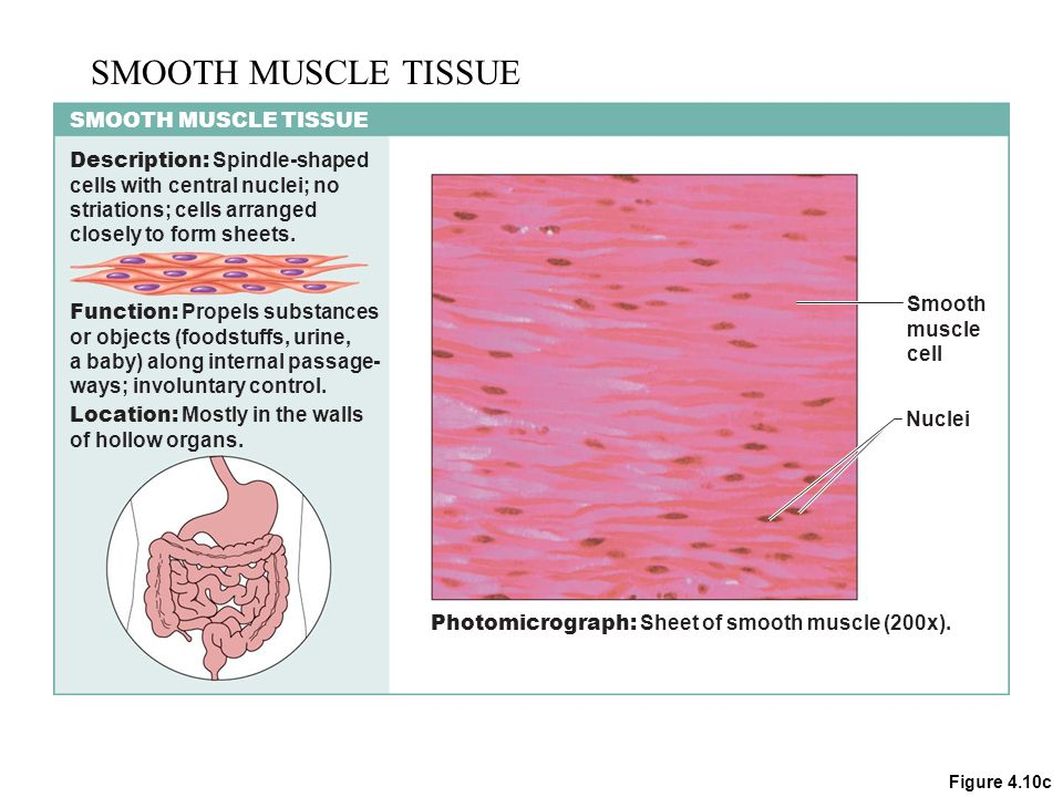 muscle tissue function Therefore, it is assumed that at all functional length-scale levels, muscle tissue  has an identical, incompressible, and transversely isotropic response.