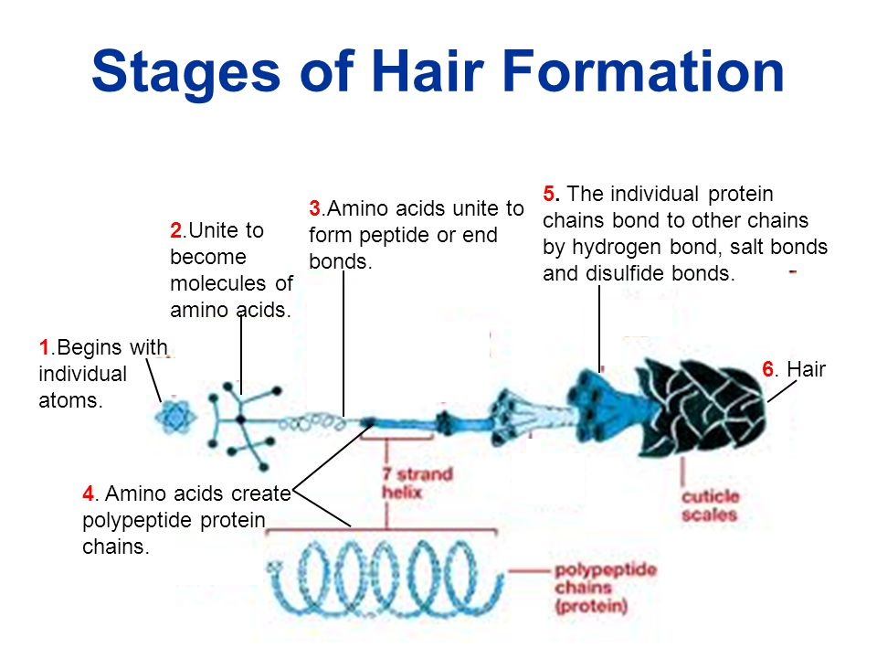 Stages of Hair Formation