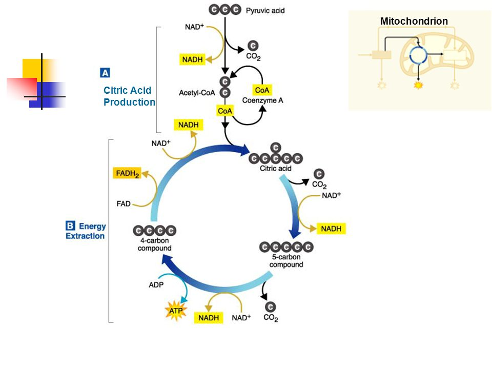 Mitochondrion Citric Acid Production
