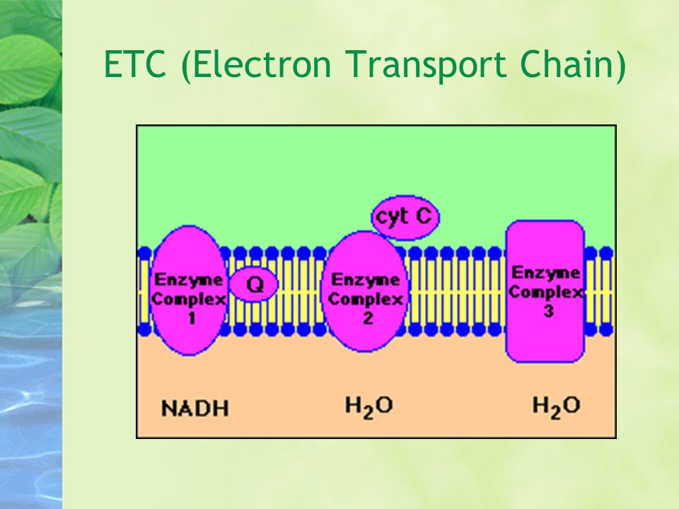 ETC (Electron Transport Chain)