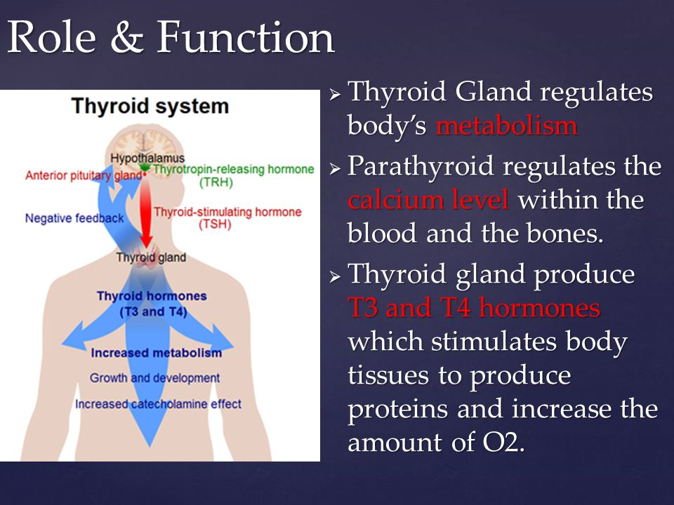 Parathyroid & Thyroid Glands - ppt video online download