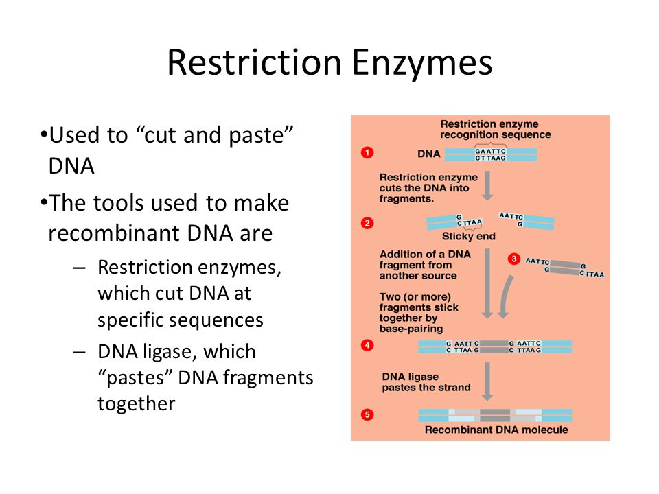 Restriction Enzymes Used to cut and paste DNA