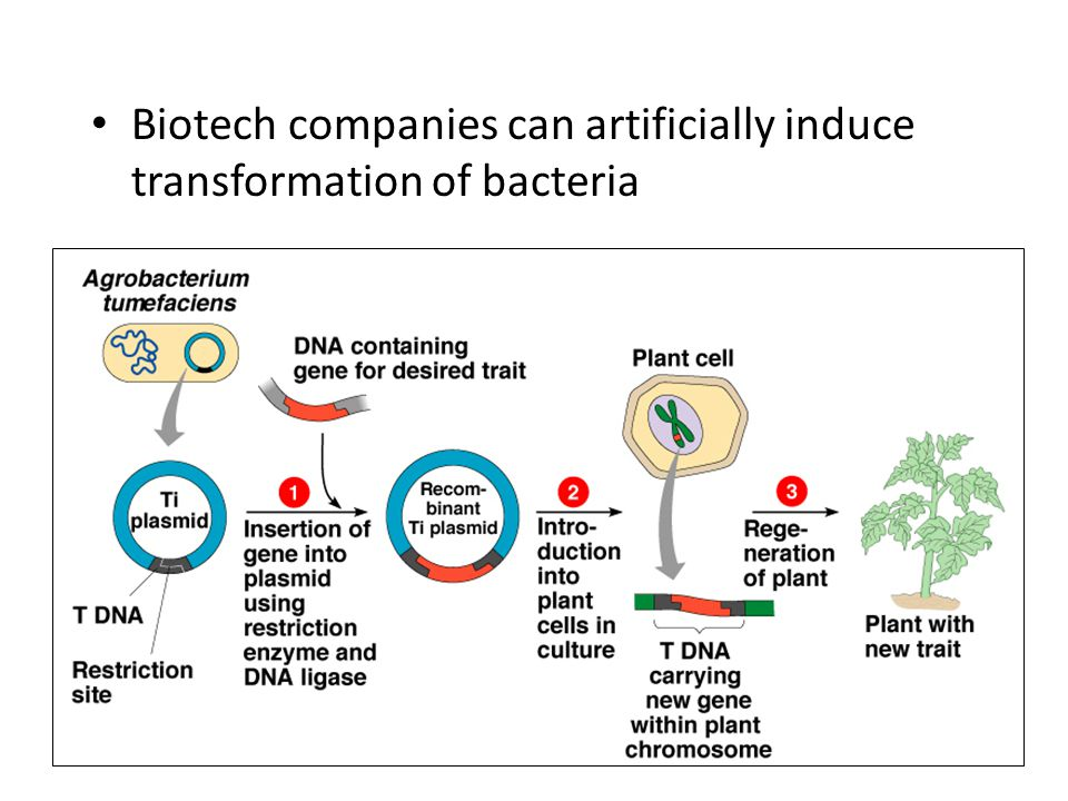Biotech companies can artificially induce transformation of bacteria