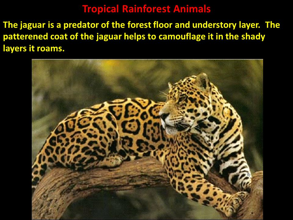 What is a jaguars camouflage  Answerscom