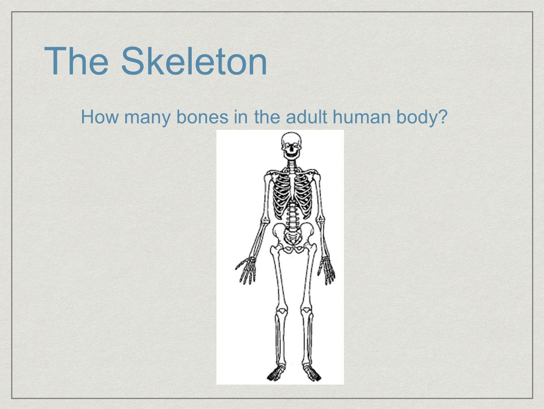 Bones In The Adult Body 94