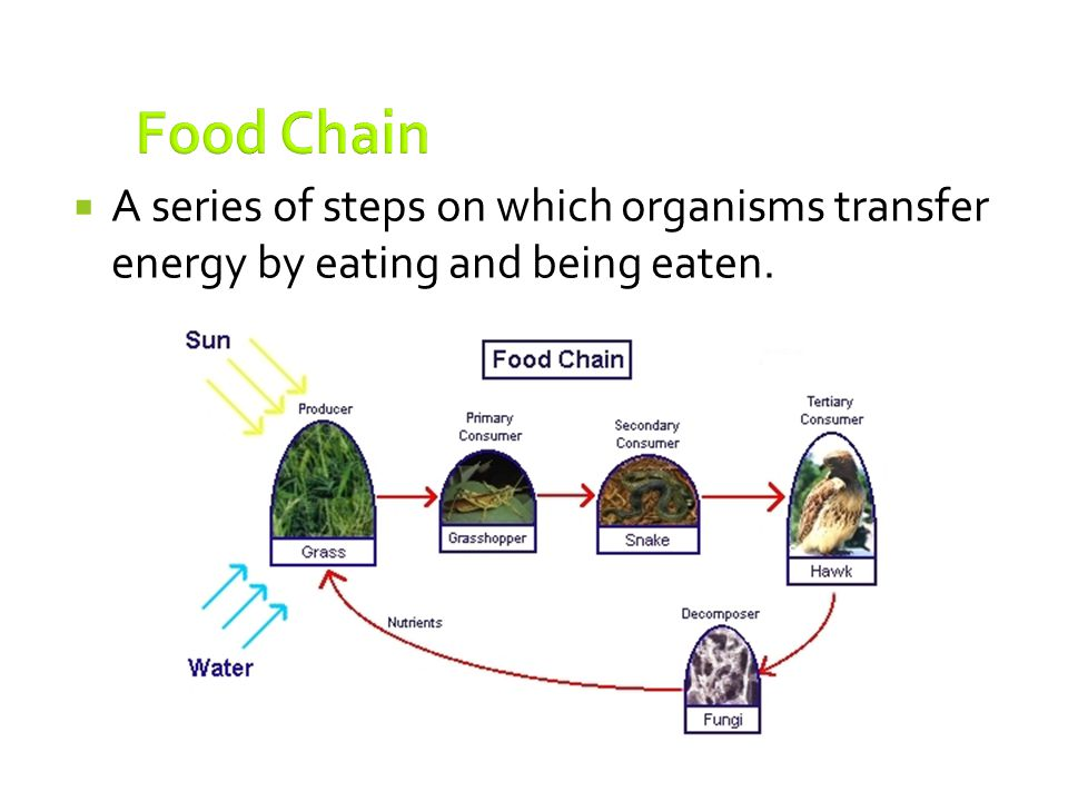 Food Chain A series of steps on which organisms transfer energy by eating and being eaten.