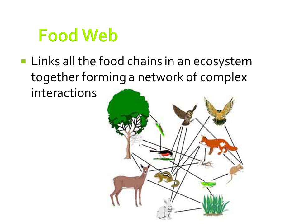 Food Web Links all the food chains in an ecosystem together forming a network of complex interactions.