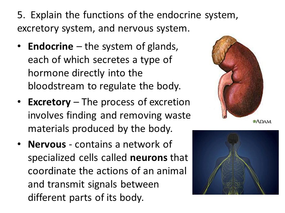 exam for muscular and nervous system The nervous system the components of the control and communication network:  in contact with the blood flowing arteries thick muscular walls designed to.