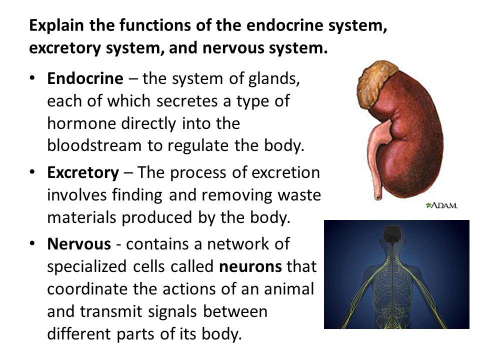 nervous digestive system