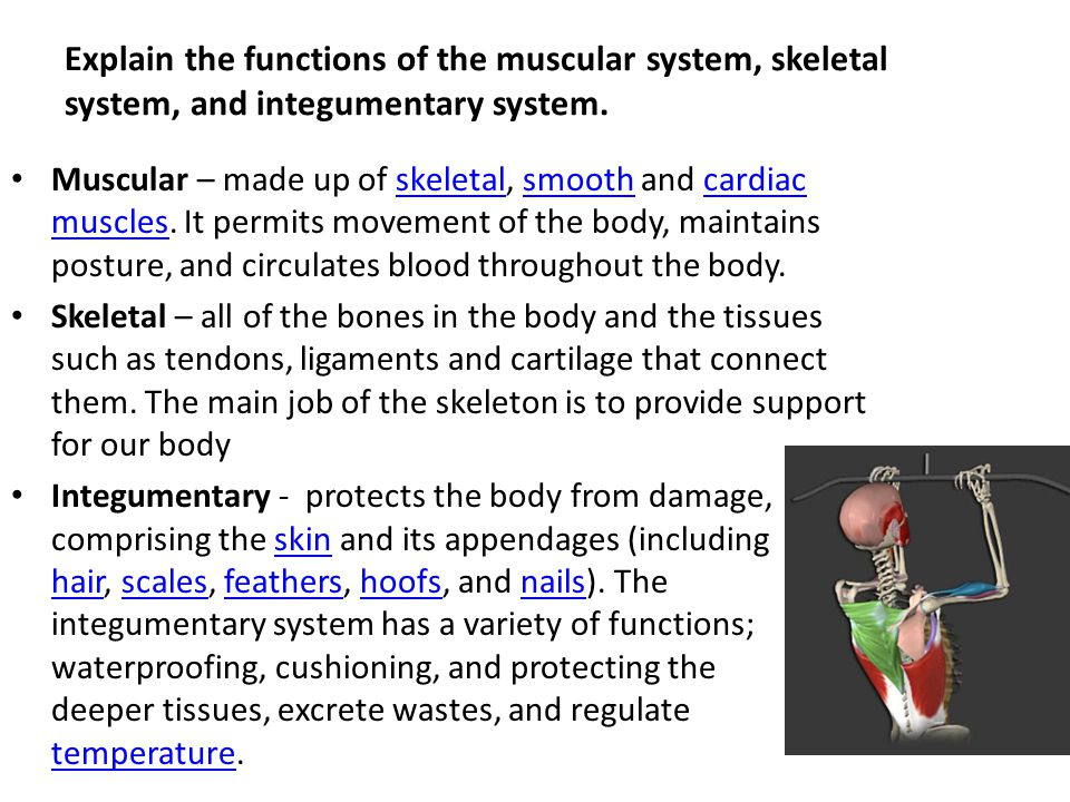 Describe Muscular System Tenderness