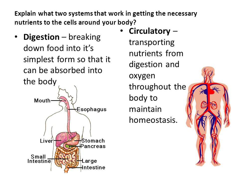 digestion absorption and homeostasis essay