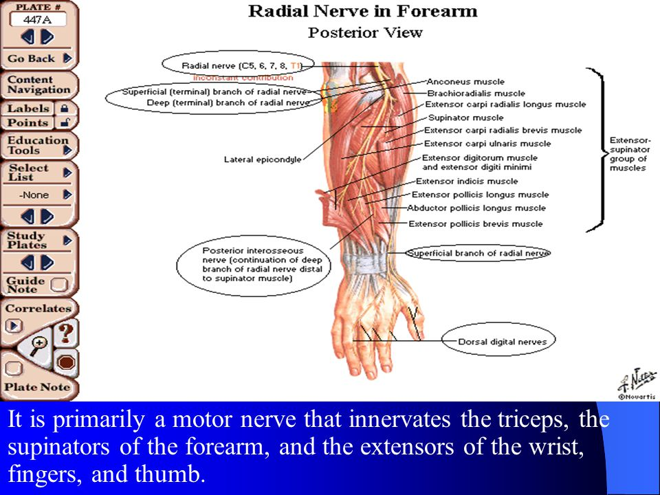 It is primarily a motor nerve that innervates the triceps, the supinators of the forearm, and the extensors of the wrist, fingers, and thumb.