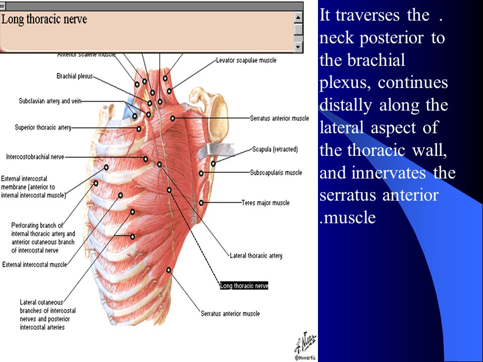 . It traverses the neck posterior to the brachial plexus, continues distally along the lateral aspect of the thoracic wall, and innervates the serratus anterior muscle.