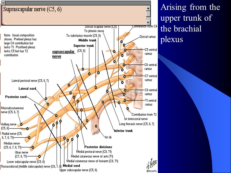 Arising from the upper trunk of the brachial plexus