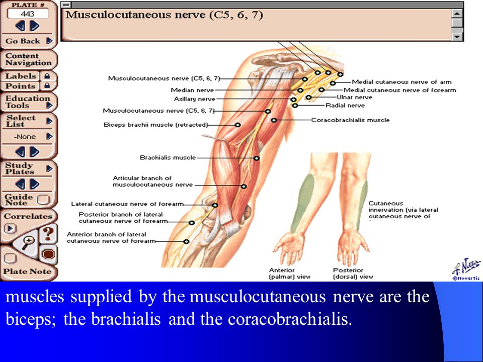 muscles supplied by the musculocutaneous nerve are the biceps; the brachialis and the coracobrachialis.