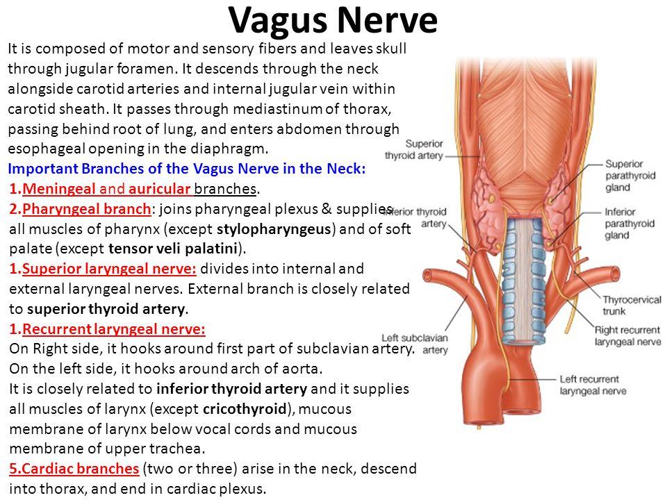 Left Recurrent Laryngeal Nerve Anatomy Gallery - human body anatomy