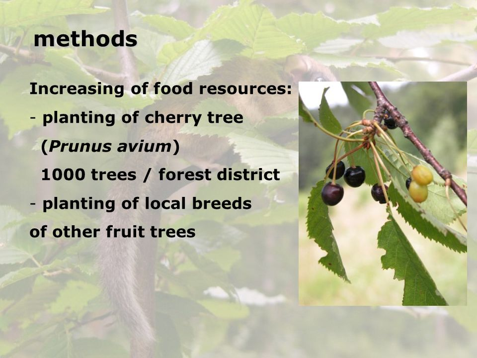 methods Increasing of food resources: planting of cherry tree