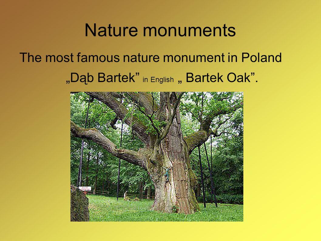 """""""Dąb Bartek in English """" Bartek Oak ."""