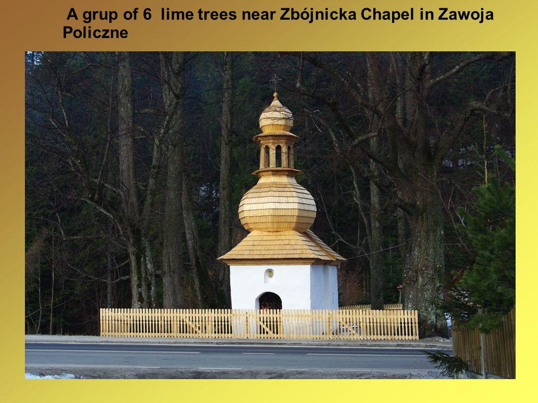A grup of 6 lime trees near Zbójnicka Chapel in Zawoja Policzne