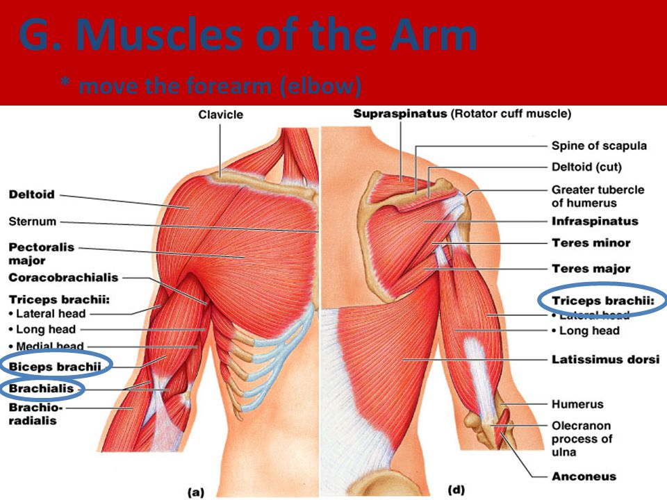 Muscle anatomy of arm