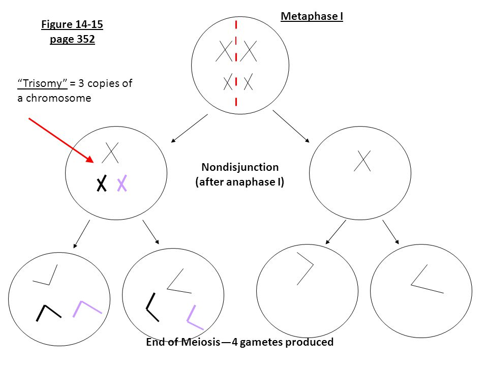 End of Meiosis—4 gametes produced