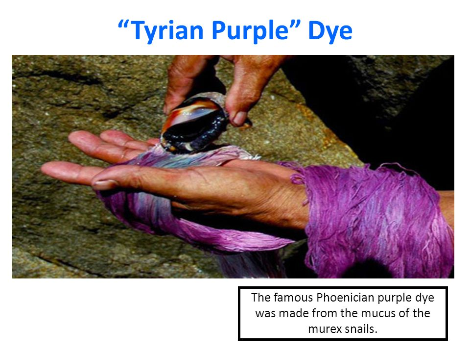 Tyrian Purple Snail