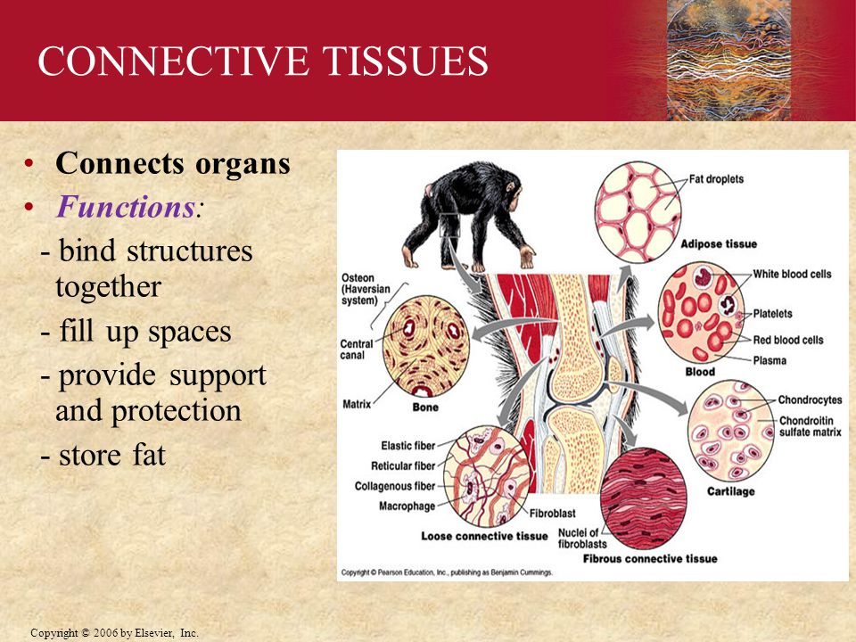 CONNECTIVE TISSUES Connects organs Functions: