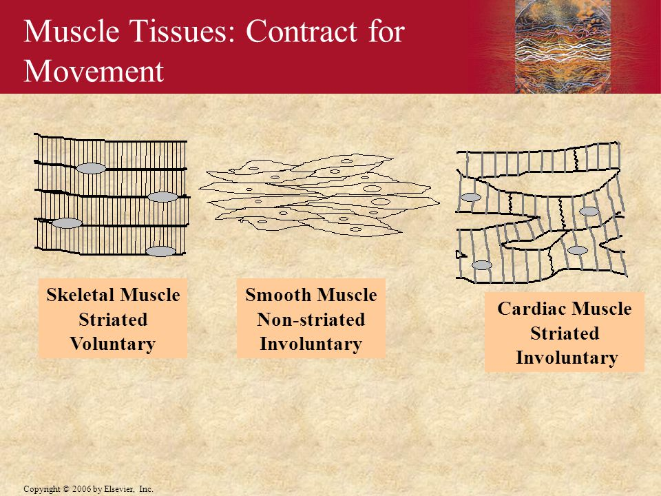 Muscle Tissues: Contract for Movement