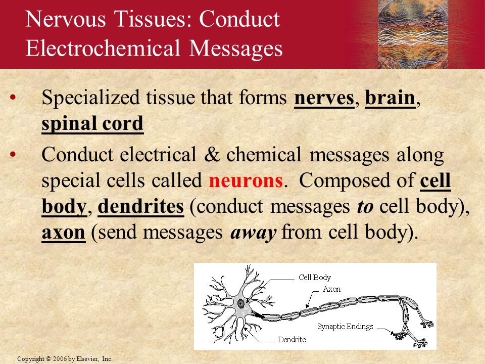 Nervous Tissues: Conduct Electrochemical Messages