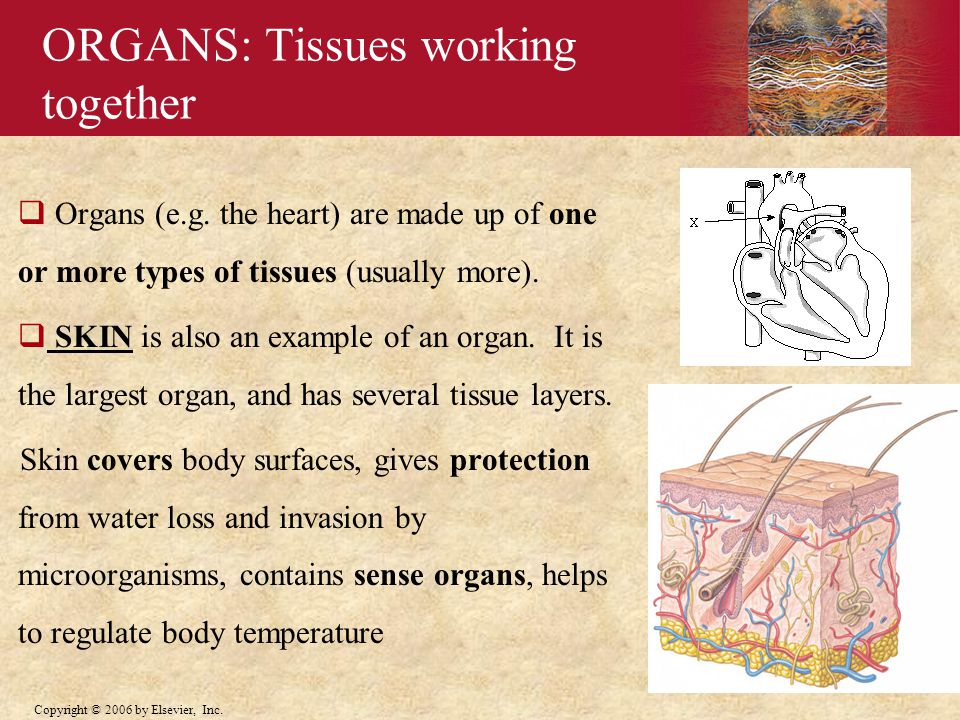 ORGANS: Tissues working together