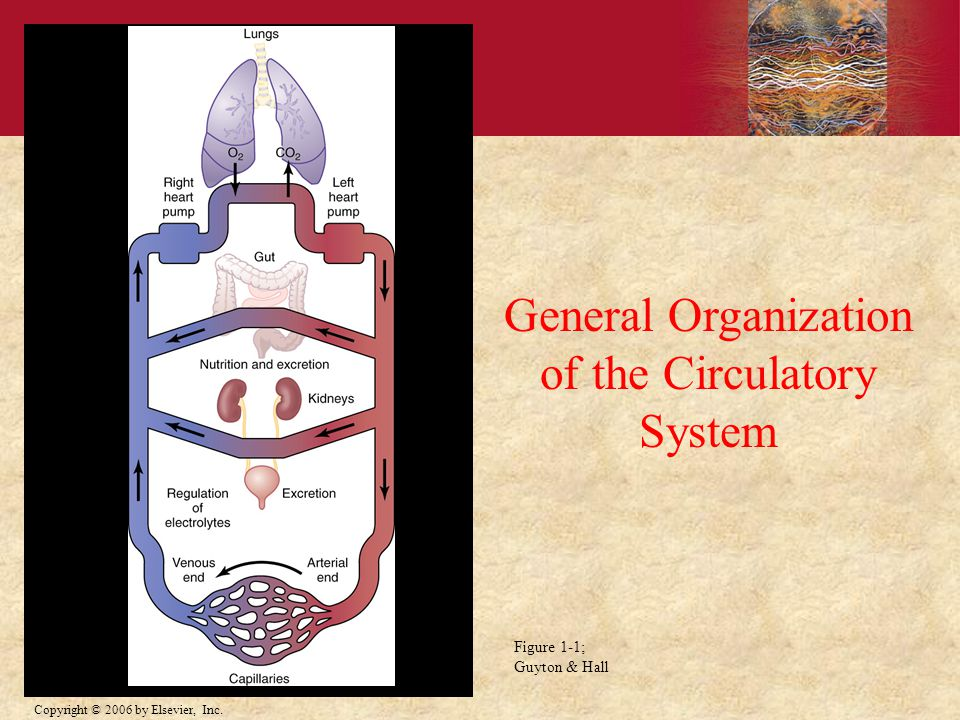 of the Circulatory System