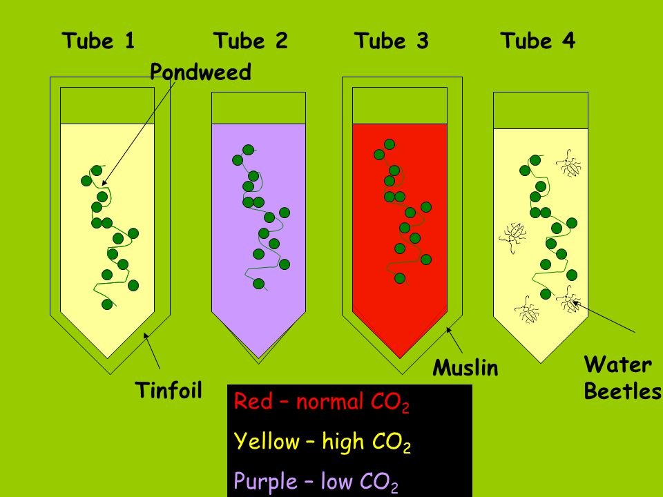 Tube 1 Tube 2. Tube 3. Tube 4. Pondweed. Muslin. Water Beetles. Tinfoil. Red – normal CO2. Yellow – high CO2.