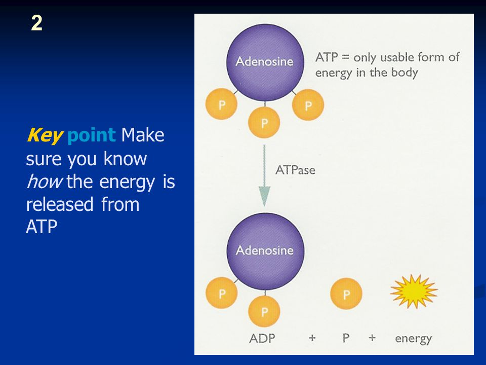 atp pc system Bioenergetic systems are metabolic processes that relate to the flow of energy in living organisms the lactic acid system, like the atp-cp system.