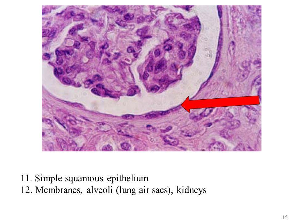 bio 101 microscope epithelial tissueintegument quiz ppt