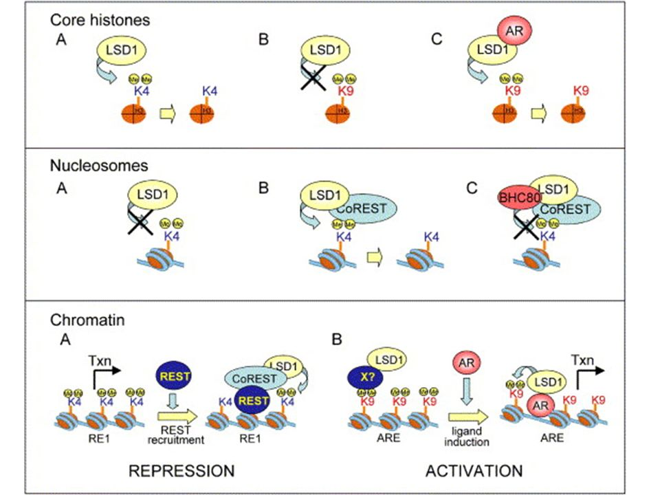 Figure 2. Regulation of LSD1 Specificity by Association with Protein Cofactors(Upper panel) Recombinant LSD1 specifically demethylates H3 K4 of core histones (A), but not H3 K9 (B) (Shi et al., 2004).