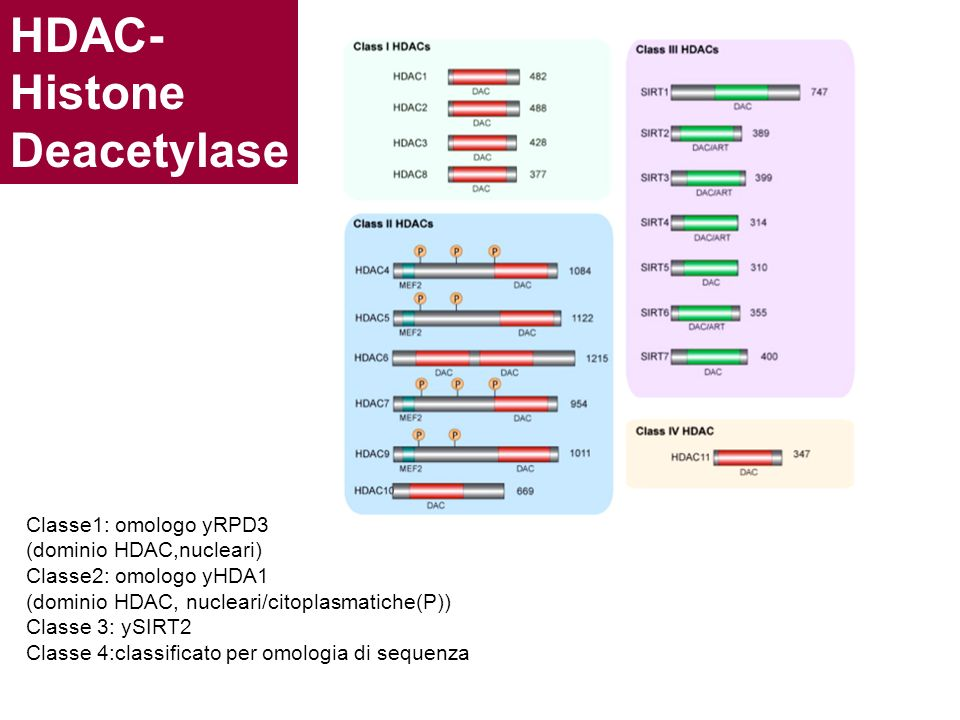 HDAC- Histone Deacetylase Classe1: omologo yRPD3