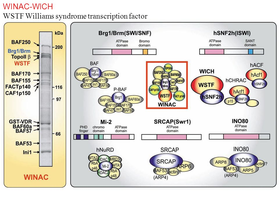 WSTF Williams syndrome transcription factor