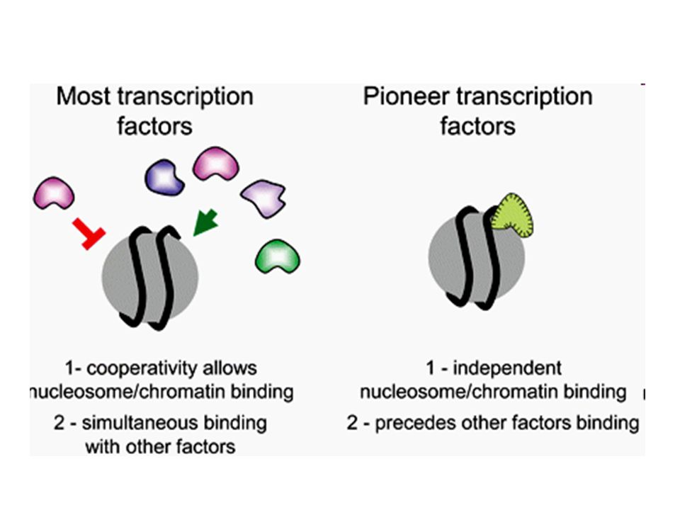 Properties that distinguish pioneer factors from other transcription factors.